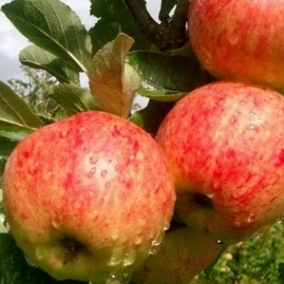 Яблоня Красавита