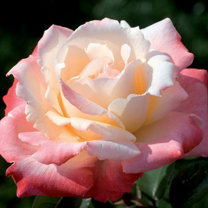 Роза Летиция Каста