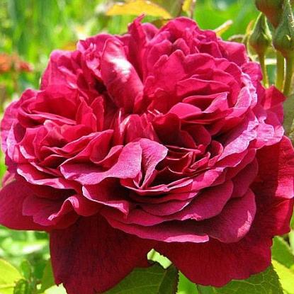 Роза Вильям Шекспир штамбовая