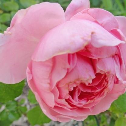 Роза Комтесс де Сегюр