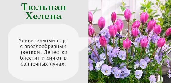 Тюльпан Хелена