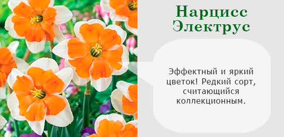 Нарцисс Электрус