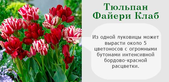 Тюльпан Файери Клаб