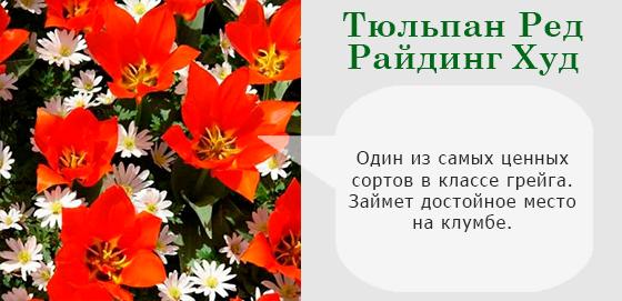 Тюльпан Ред Райдинг Худ