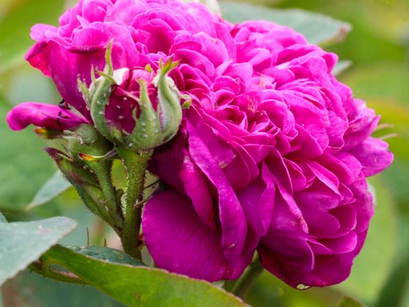 роза жуа де вивр фото вверх вытравляю