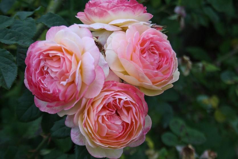 Роза Розомон Женон