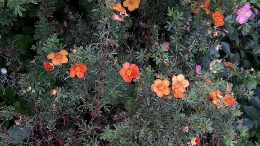 Лапчатка оранжевая