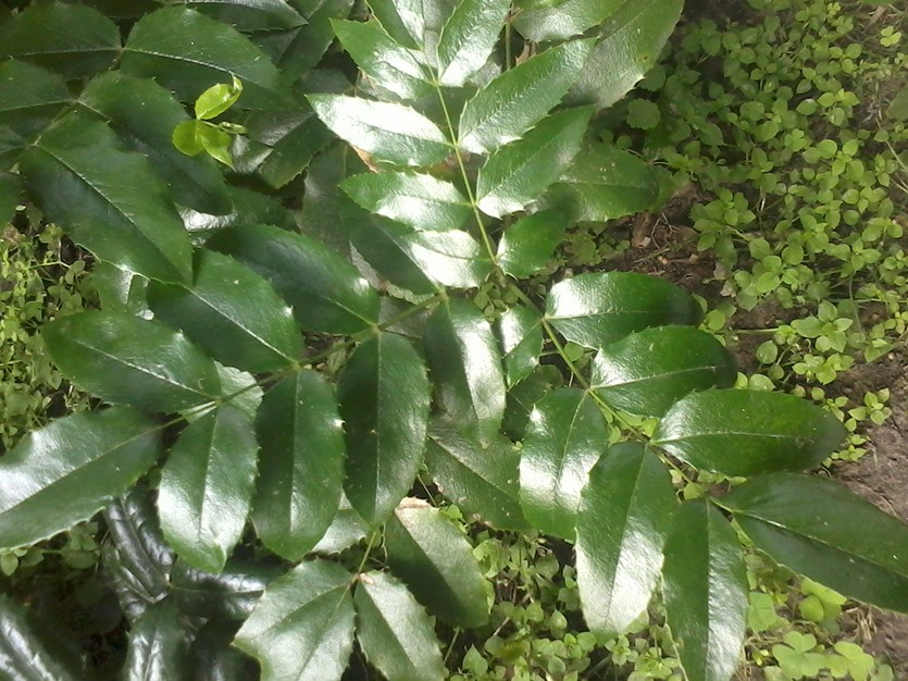 Листья магонии