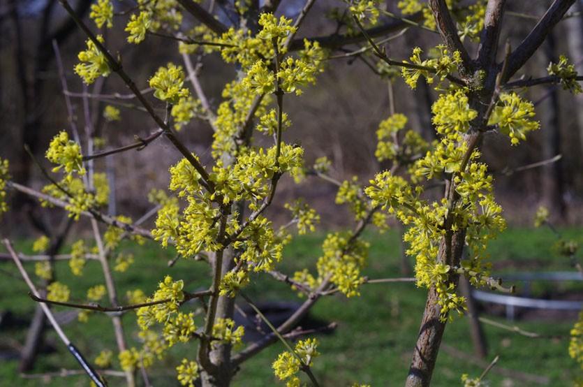 Кизил обыкновенный цветение