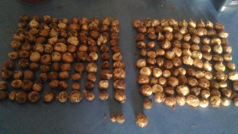 Крокусы луковицы