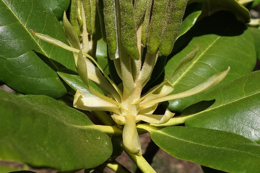 Рододендрон короткоплодный