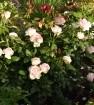 Роза буке парфе