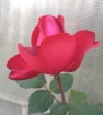 Розы. последнее цветение