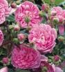 Rose harlow carr