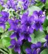 Odorata violet