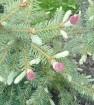 Весенние приросты у хвойных и красные шишки