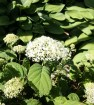 How to revive a sad-looking hydrangea