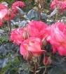 Мидсаммер роза