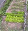 Урожайки