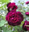 Rose francis dubreuil