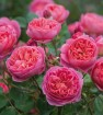 Rose boscobel