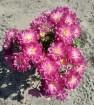 Хризантема дейбрик эплблоссом