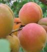 Первый урожай абрикосов
