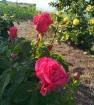 Роза черри леди