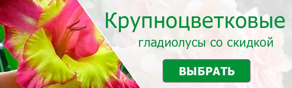 Крупноцветковые гладиолусы