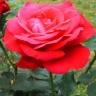 Роза Дам де Коур