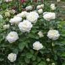 Роза Боинг