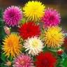 Георгины кактусовидные, смесь