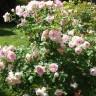 Роза Морден Блаш штамбовая