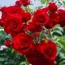 Роза Симпатия