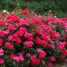 Роза Загадка (Шраб, красная)