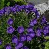 Колокольчик Синий, карпатский (сер. Альпийская горка)