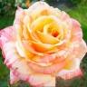 Роза Марвелл штамбовая