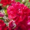 Роза Хеллоу