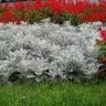 Цинерария приморская Серебряная пыль