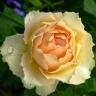 Роза Джалита