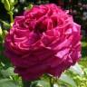 Роза Ля Роз де Катрэ Вен штамбовая