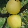 Яблоня Ананасное