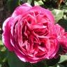 Роза Отелло
