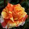 Роза Оранжес энд Лемонс