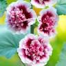 Мальва Крем де Кассис розовая