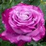 Роза Блю Ривер