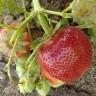 Клубника Вима Занта (земляника садовая)