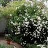 Роза Мадам Плантье HISTORICAL