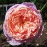 Роза Колетт