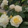 Роза Шопен